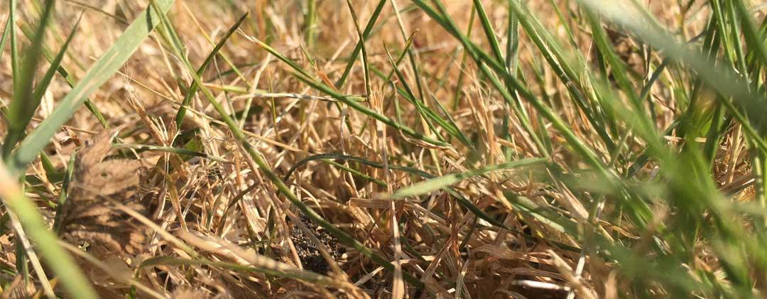 Droogte grasland